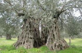 asırlık-zeytin-ağacı7